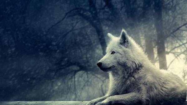 林の中の狼の壁紙画像