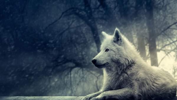 雪原に座り込む狼