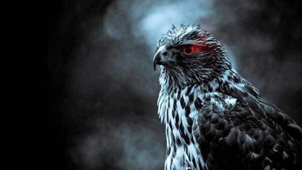 燃えるような赤い目をした鷹の壁紙画像