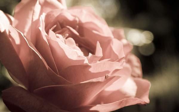 淡いピンクのパラの花を撮影した写真
