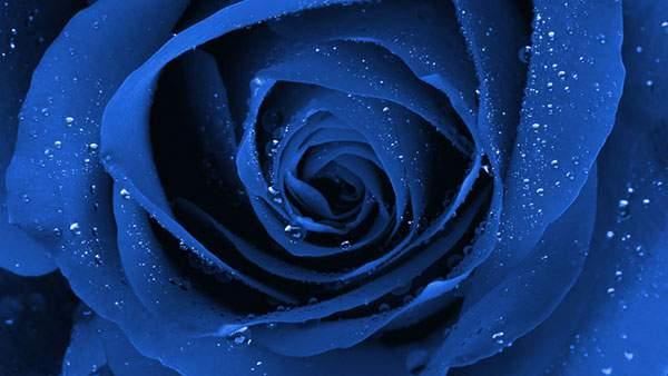 クッキリ鮮明に撮影された青い薔薇の花の写真
