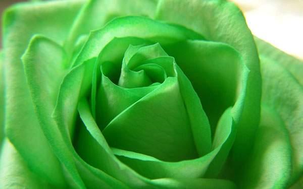 鮮やかなグリーンのバラの花の壁紙