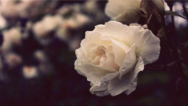 白い薔薇を撮影したレトロな雰囲気の壁紙画像