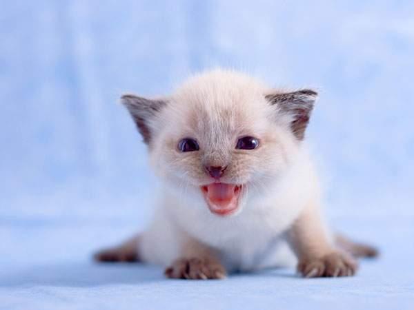 カメラ目線で鳴く白い猫の赤ちゃんの壁紙画像