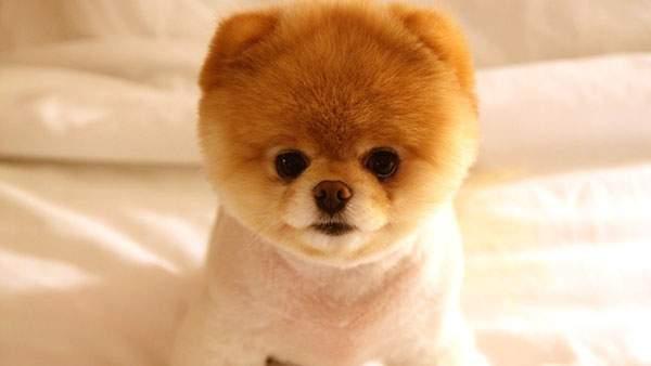 ふわふわの毛がかわいいポメラニアンの赤ちゃん