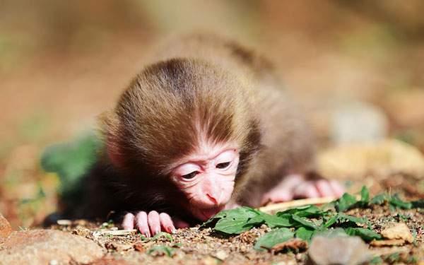 地面に落ちた葉っぱを見つめるサルの赤ちゃんの写真