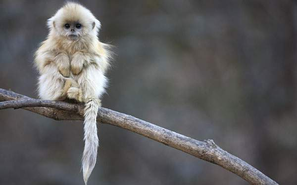 木の枝の上に座る綺麗な毛並みのキンシコウの赤ちゃん