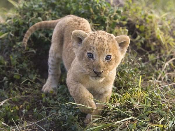 ふわふわした毛並みのライオンの赤ちゃんの壁紙画像