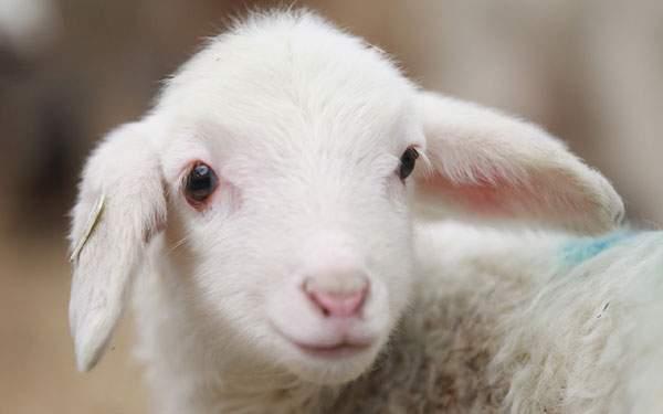 やさしい表情の羊の赤ちゃんの壁紙画像