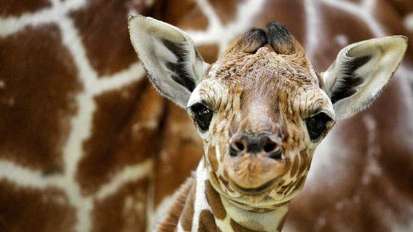 愛嬌たっぷりな表情がかわいいキリンの赤ちゃんの写真