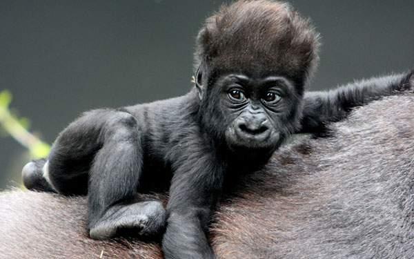 人間味ありすぎな表情のゴリラの赤ちゃんの壁紙画像