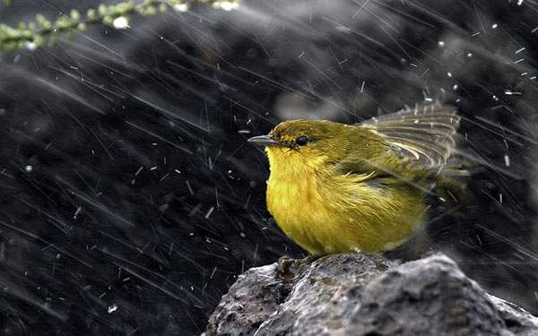 雨と黄色い小鳥のかわいい写真