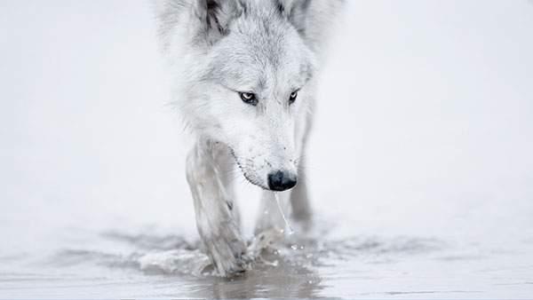 水を飲む狼の綺麗な写真壁紙画像