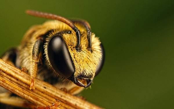 蜂の顔をアップで撮影した高精細な写真壁紙