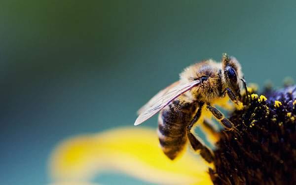 体に花粉をつけながら花の蜜を吸うハチの綺麗な写真画像