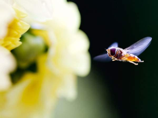 花に向かって飛んでいくハチの美しい写真壁紙