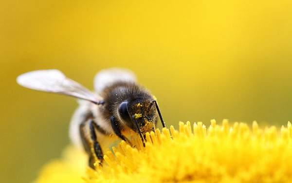 黄色い画面が美しいハチと花の写真壁紙画像