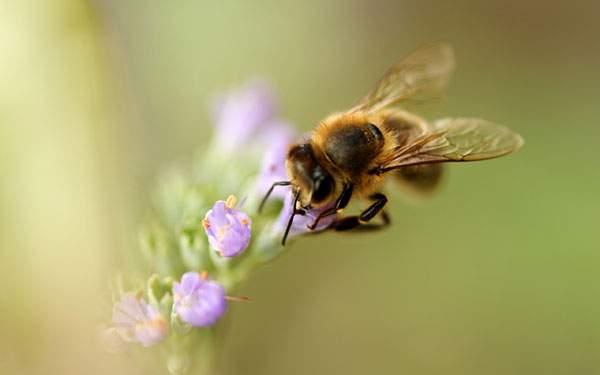 小さな紫色の花に止まる蜂の写真壁紙