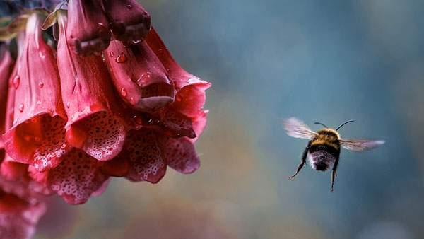 赤い花から飛び去っていく蜂の写真画像