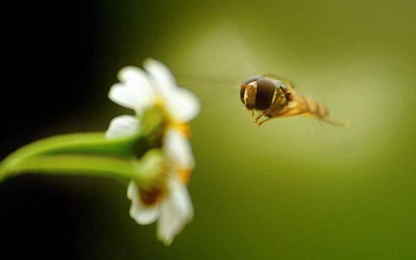 花の周りを飛ぶ蜂をマクロ撮影した綺麗な写真壁紙