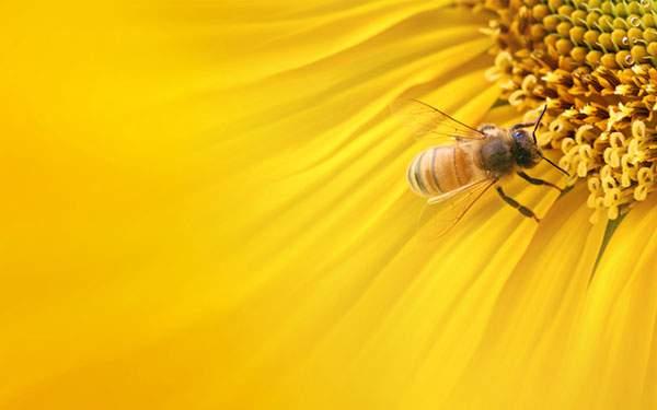 黄色い花に止まった蜂の高精細な写真壁紙