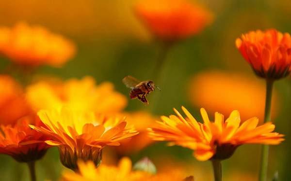 オレンジ色の花の上を飛ぶ蜂を撮影した美しい写真壁紙