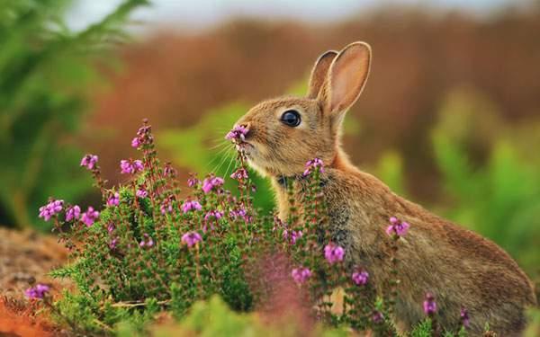 花の匂いを嗅ぐ野生のうさぎの写真壁紙