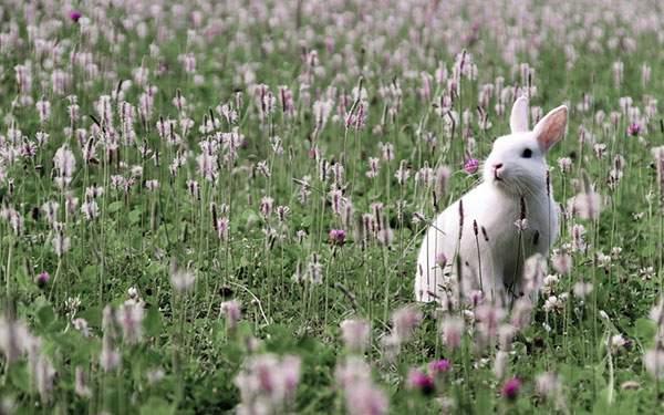 お花畑の中の白兎を撮影した綺麗な写真壁紙