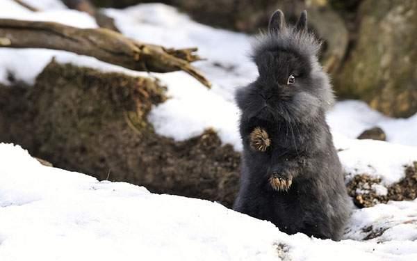 雪の中で立ち上がるふわふわの黒うさぎの写真