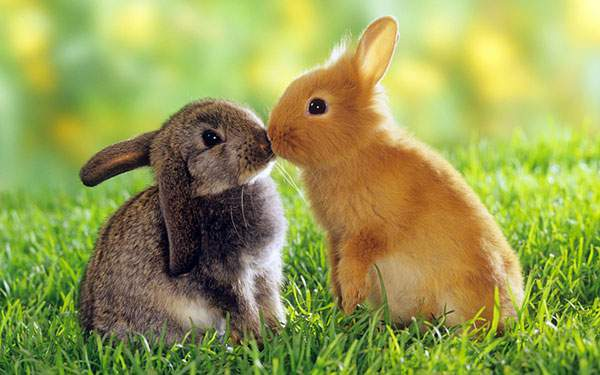 鼻を合わせてキスする二匹のうさぎ