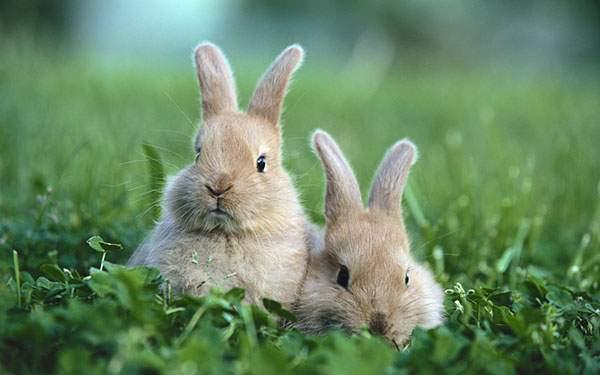 草の中に座り込んだ二匹のうさぎの写真壁紙