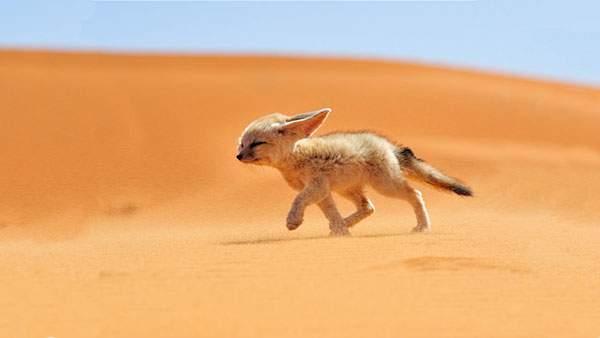 砂漠をたくましく走るフェネックの子供の写真