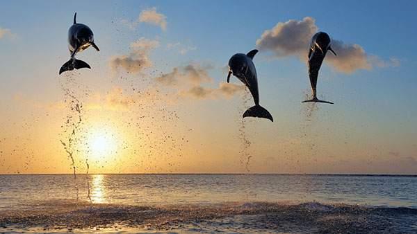 夕日をバックに高くジャンプするイルカの綺麗な壁紙画像