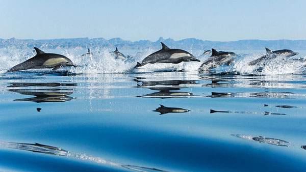 海面をバシャバシャと跳ねるイルカたちの群れの壁紙画像