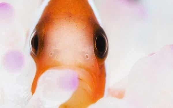 淡い色合いが綺麗なさわやかな金魚の顔のアップのイラスト