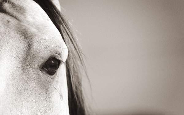 白馬のやさしい瞳をアップで撮影した写真壁紙