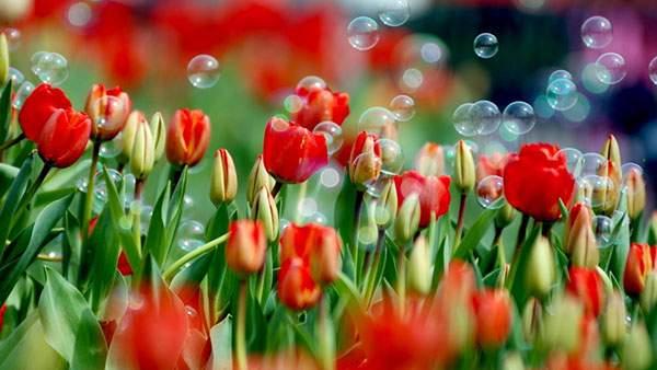 真っ赤なチューリップとシャボン玉の綺麗な写真画像