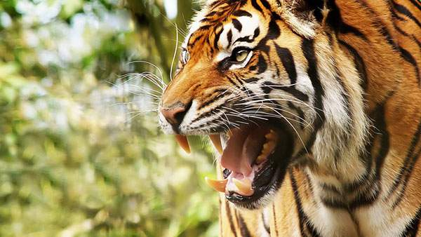 http://switch-box.net/wp-content/uploads/2013/07/wallpaper-tiger-photo-01.jpg?645a88