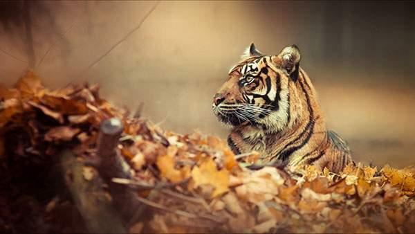 落ち葉と虎の綺麗な写真壁紙