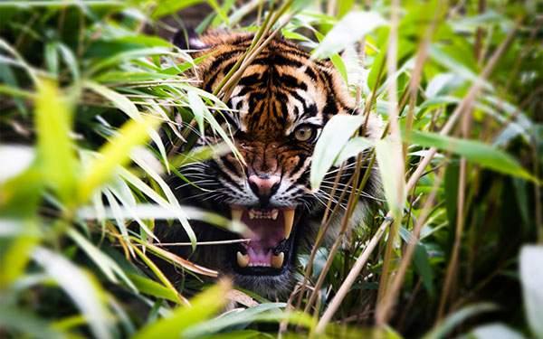 森の茂みから威嚇する虎の壁紙画像