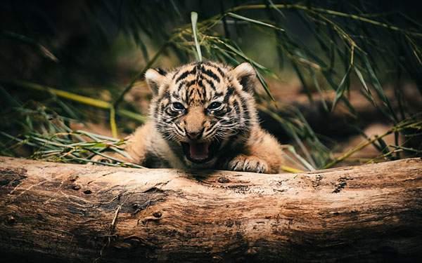 小さくても一生懸命吠えるトラの赤ちゃん