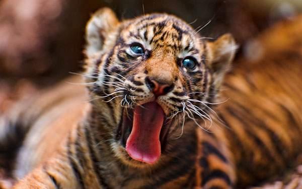 大きな口を開けてあくびするかわいいトラの赤ちゃん