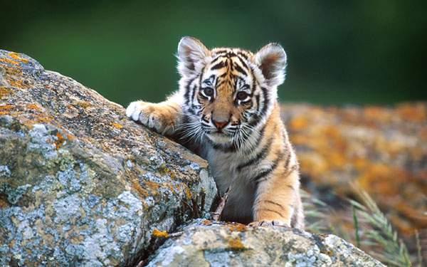 岩に前足をかけてこっちを見つめるトラの赤ちゃんの高画質壁紙