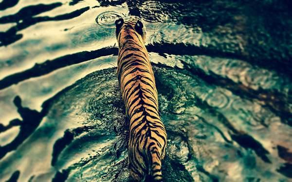 水浴びする虎の後ろ姿を撮影した高画質画像