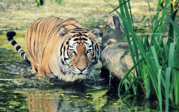水浴びしながらこっちを睨みつける虎の壁紙画像