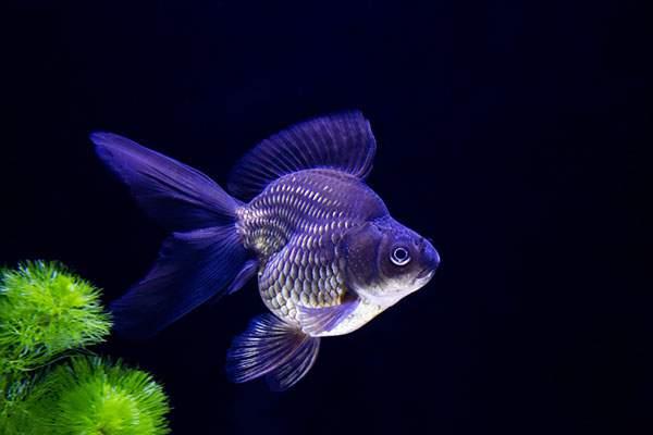 黒琉金の金魚