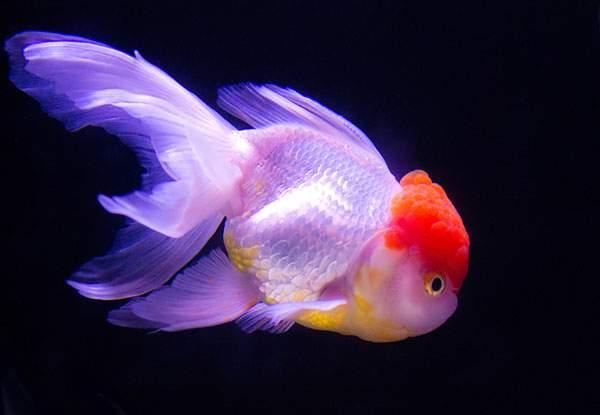 らんちゅう(金魚)