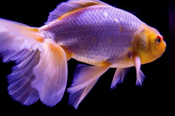 尾びれが素敵な金魚