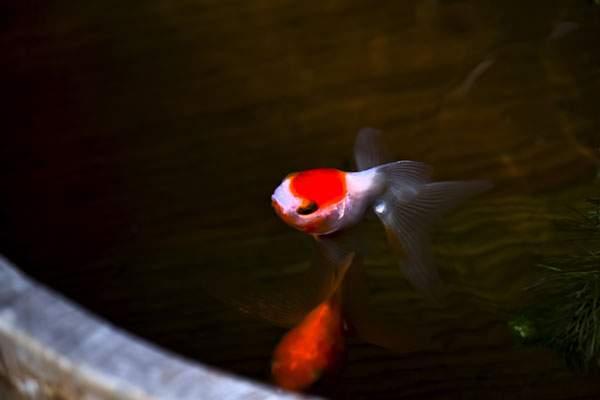 桶の中を泳ぐ金魚