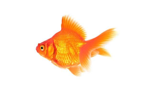 綺麗なオレンジ色の金魚の写真素材